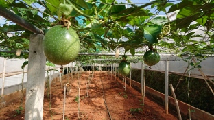 Fig Fruits being grown in Greenhouse to regulate Crop Conditions at the Mae Sa Mai Development Centre of the Royal Project Foundation in Chiang Mai